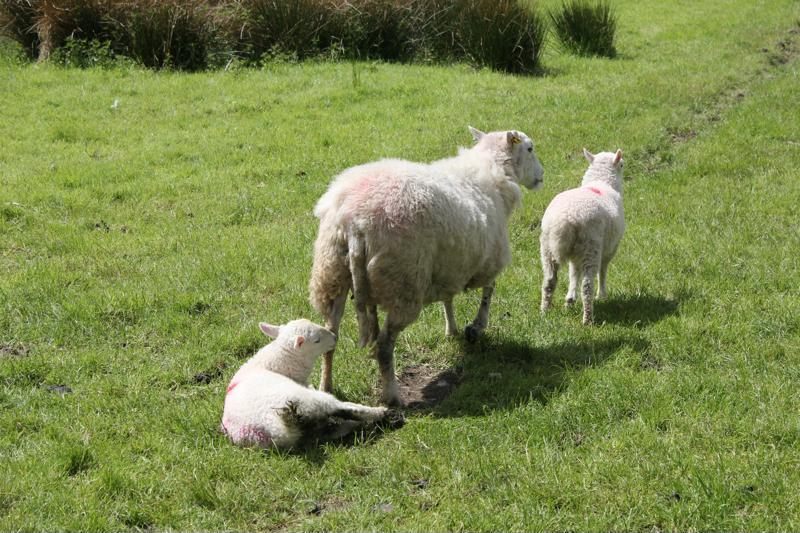 13 sheep in field near Cymer Abbey