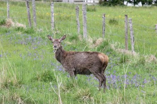 15 red deer