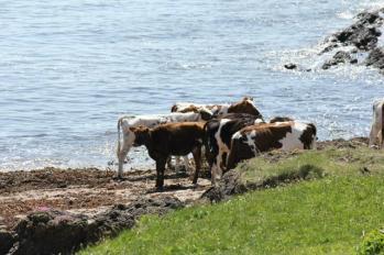 27 cows on beach
