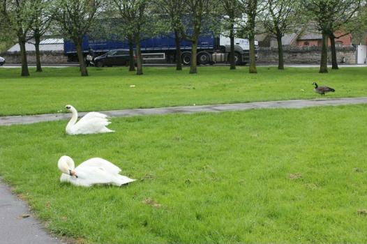 01 Good weather for ducks and swans