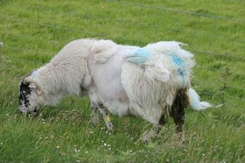 05 wild and woolly sheep
