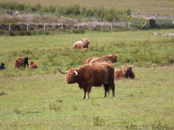 33 Highland cow