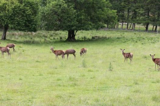 37 red deer on way to Fort Willaim