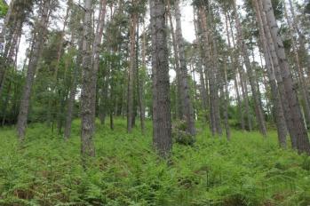 03 woodland pines