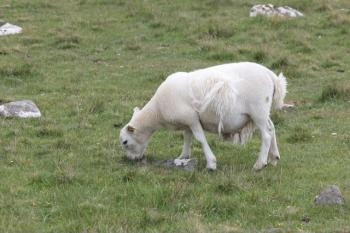 20 sheep moulting