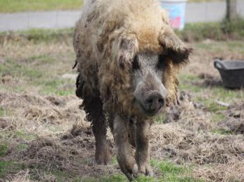 32 Woolly pig