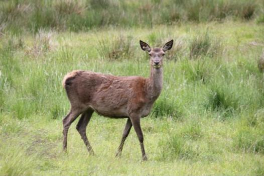 38 red deer