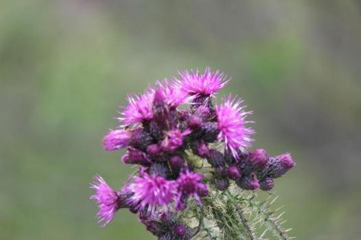 10 thistle Flower of Scotland