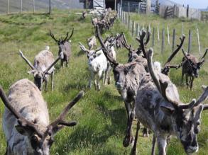 04 reindeer running towards us