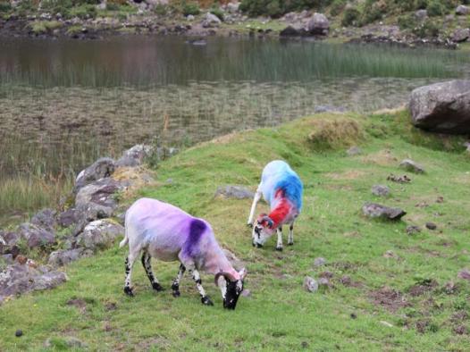 05 very trendy sheep