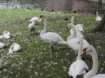 03 long neck swans