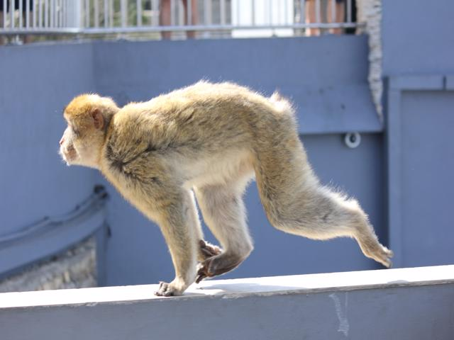 21 Barbary macaque chasing a visitor