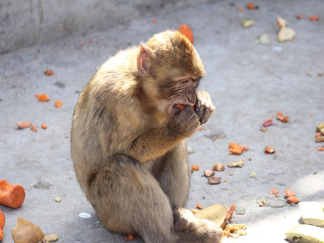 29 Barbary macaque