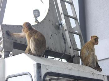 23 monkeys on cable car
