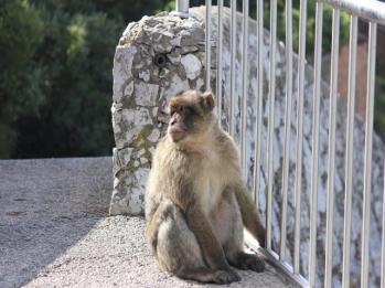25 Barbary macaque